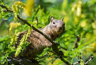 Rock Squirrel in a Tree