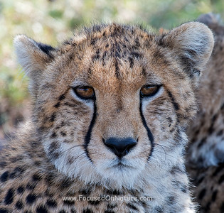 Cheetah Closeup