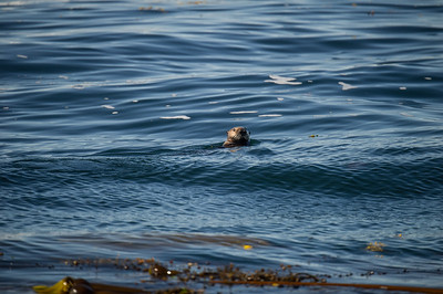 PACIFIC COASTAL SEA OTTER HANGING OUT IN THE KELP BEDS