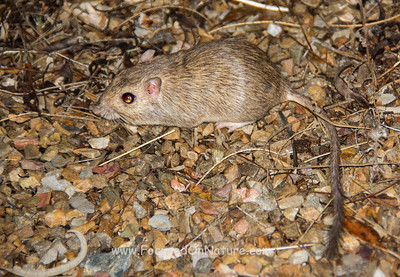 Bailey's Pocket Mouse