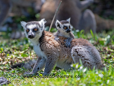 Ringtail and Baby