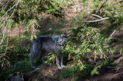 WOLF IN THE FOREST IN QUEBEC