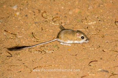Merriam's Kangaroo Rat