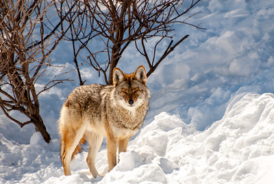 COYOTE IN THE SNOW IN QUEBEC