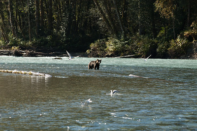 YOUNG GRIZZLY TRYING TO FIND AND CATCH A SALMON