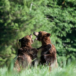 BEST BUDDIES PLAY FIGHTING IN THE GREAT BEAR RAIN FOREST