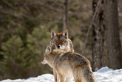 COYOTE COUPLE IN QUEBEC'S PARC OMEGA