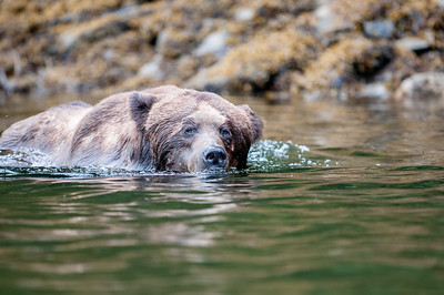 GRIZZLY BEAR SWIMMING ALONG THE RIVER BANK IN SEARCH OF A FEMALE