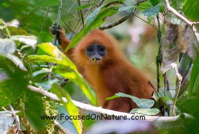 Red Langur Eating