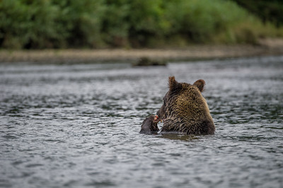 GRIZZLY BEAR DRIVE THROUGH IN SPAWNING SEASON