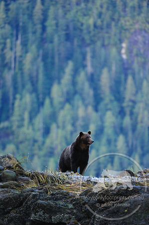 Grizzly Bear mother waiting for cub, Great Bear Rainforest, British Columbia, Canada