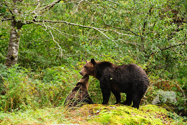 Grizzly Bear intimate moment, Great Bear Rainforest, British Columbia, Canada