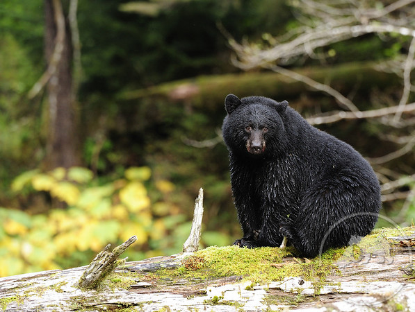 Black Bear, Great Bear Rainforest, British Columbia, Canada