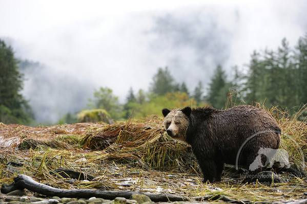 Grizzly Bear, Great Bear Rainforest, British Columbia, Canada
