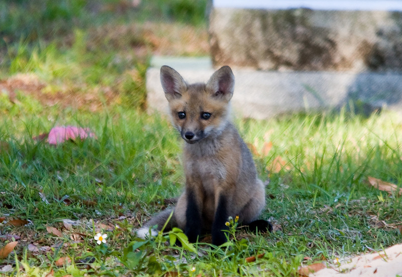 red fox kitts