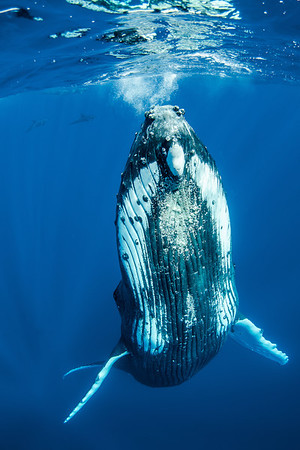 Making Contact - Humpback whale in Tonga