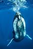 Making Contact - Humpback whale in Tonga
