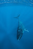 Blue Descent - Humpback Whale in Tonga