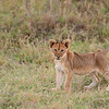 Lion cub, South Luangwa National Park, Zambia