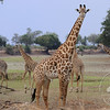 Giraffes, South Luangwa National Park, Zambia