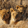 Young lion cubs in Kruger National Park. These young cubs were left behind in some tall grasses as the rest of the pride had gone hunting. They are not yet old enough to take part of the hunt so it is safer that they stay behind and then they get called in when the meal is ready.