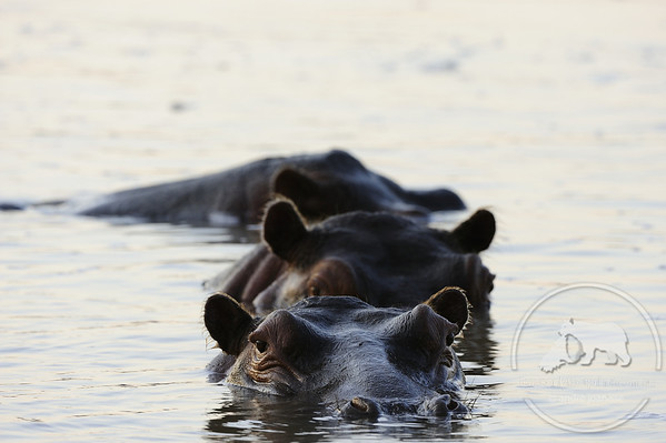 Hippopotamus, South Luangwa National Park, Zambia