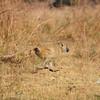 Baboon on the run, South Luangwa National Park, Zambia