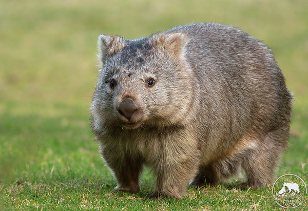 Wombat, Wilsons Promontory National Park, Victoria