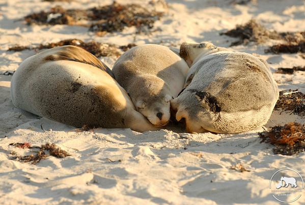 Australia Sea Lions, Kangaroo Island, South Australia