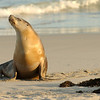 Australia Sea Lion posing, Kangaroo Island, South Australia