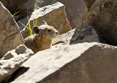 Colorado Pika checkin' me out