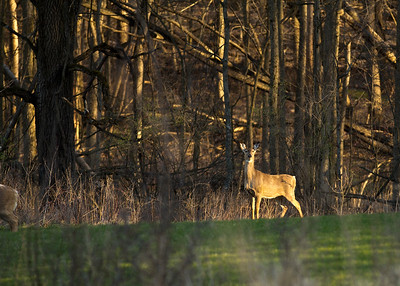 White Tailed Deer at dusk