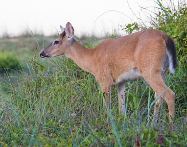 White-tailed Deer, Back Bay National Wildlife Refuge, OK