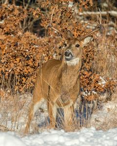 Whitetail Deer, Wichita Mountains National Wildlife Refuge, OK