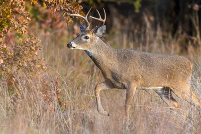 White-tailed Deer, Wichita Mountains National Wildlife Refuge, OK
