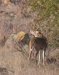 White-tailed Deer, Wichita Mountains National Wildlife Refuge, OK