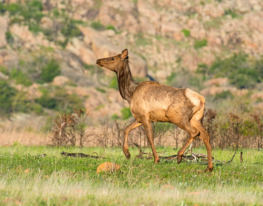 Elk, Wichita Mountains National Wildlife Refuge, OK