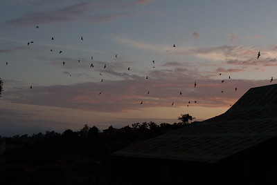 Flying from the barn, the bats always went south,  possibly to water which they drank while flying.  3666 Bumann road, Olivenhain, California.