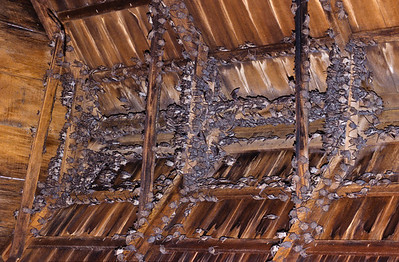 Mexican free-tailed bats in our hay barn.  They stayed for many seasions, using our barn as a nursery.  For unknown reasions they no longer use our barn, possibly they found better accommodations elsewhere.