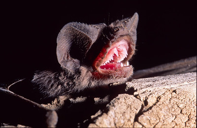 Bats have very sharp teeth, designed for catching insects.