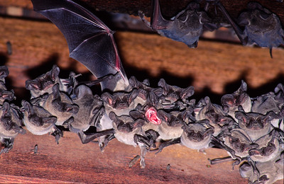 During the day, Bats sleep by hanging in a vertical position.  The center bat is yawning.