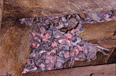 During the night, the pink juveniles remain in the barn.  The babies cling to mother as she flies in the night sky.  3666 Bumann road, Olivenhain, California.