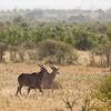 A number of eland cross the African Bush. Serengeti National Park, Tanzania