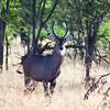 Waterbucks scan for danger on the Savannah. Serengeti National Park, Tanzania