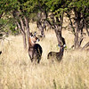 Waterbucks scan for danger on the Savannah. Serengeti National Park, Tanzania
