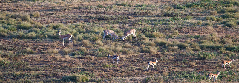 Two Male Grant's Gazelles square off for the fight during the mating season. Serengeti National Park, Tanzania