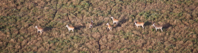 A herd of Elands crosses the Savanna as seen from a hot air balloon. Serengeti National Park, Tanzania