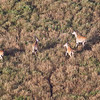 A herd of Elands crosses the Savanna as seen from a hot air balloon. Serengeti National Park, Tanzania