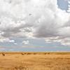 Cotes Hartebeest graze on the savannah. Serengeti National Park, Tanzania