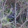 A Lesser Kudu Buck in the brush of the Serengeti. Tanzania